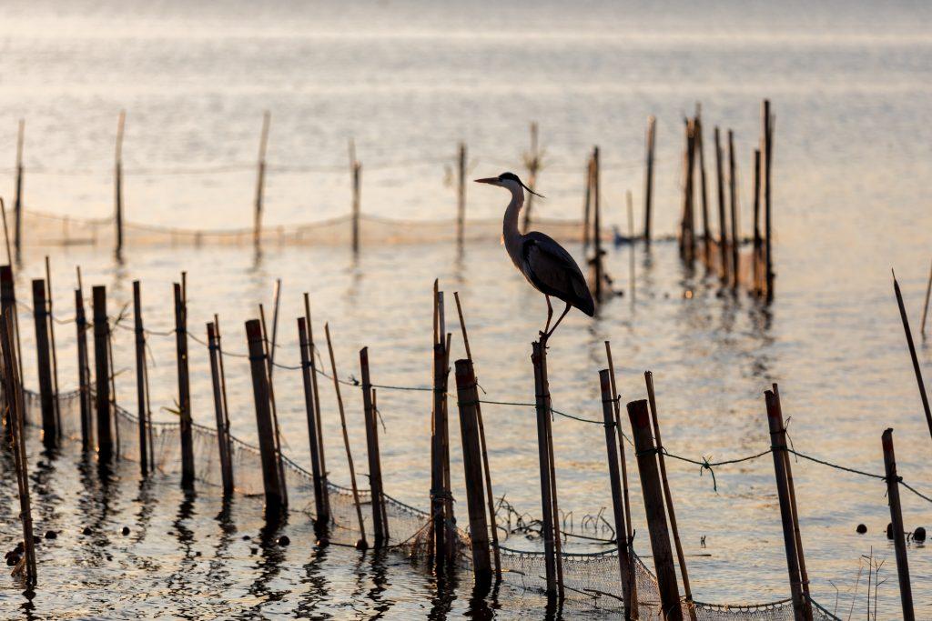 L'Albufera es uno de los mejores escenarios para observar aves en la Comunitat Valenciana.